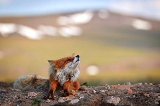 Le volpi nella tundra artica immortalate da Ivan Kislov